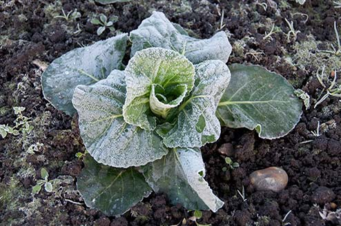 Photo of fresh grown cabbage