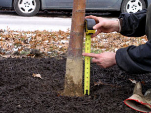 "This tree was 8"" too deep in the root ball, and had to be planted higher plus the excess soil had to be removed."